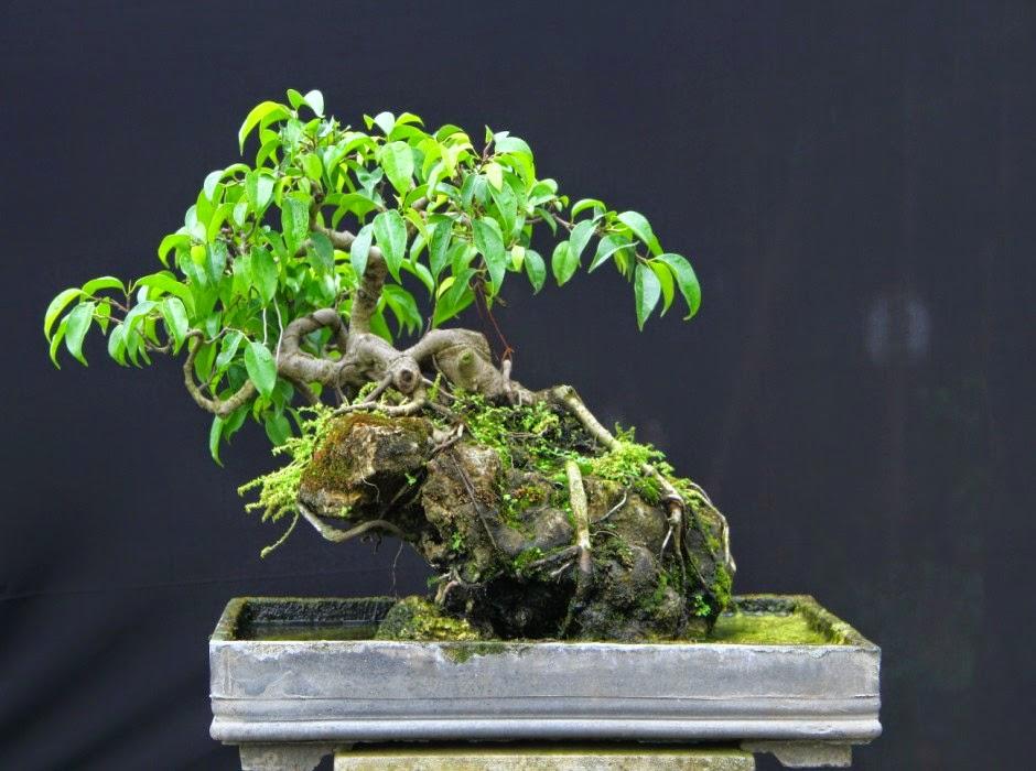 Chậu cây sanh bonsai đẹp