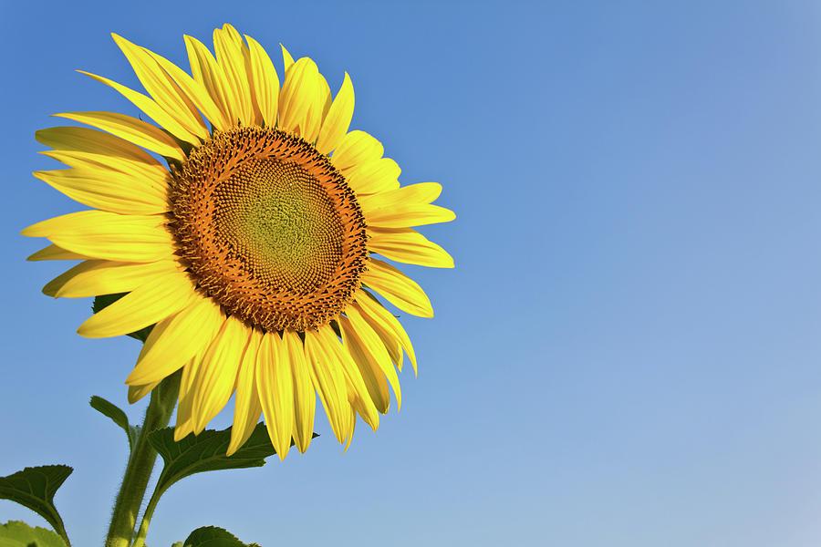 Hình ảnh bông hoa hướng dương cực đẹp