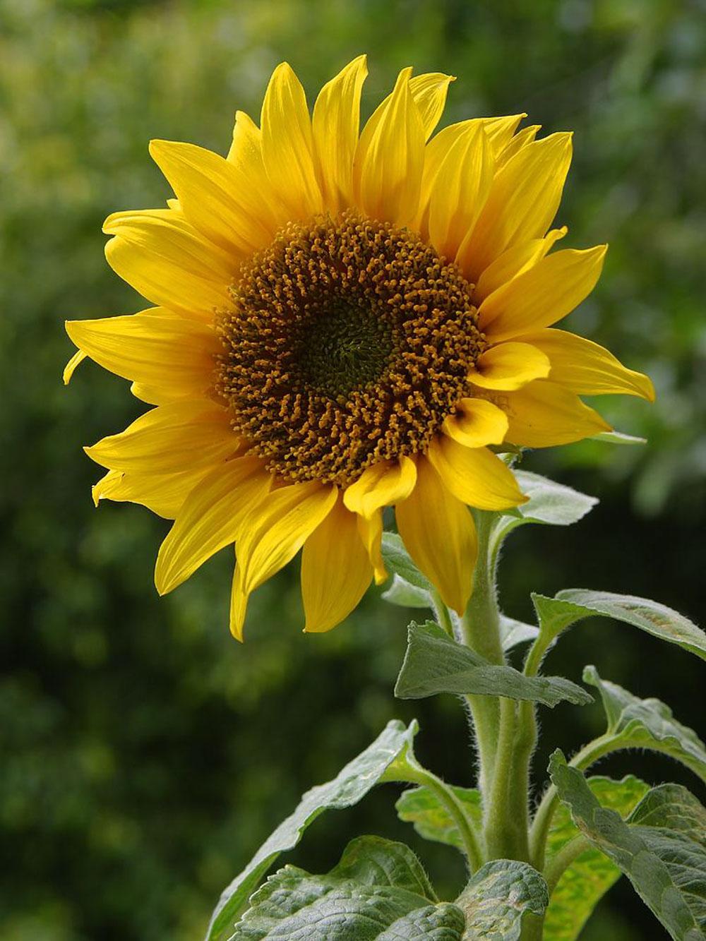 Hình ảnh bông hoa hướng dương