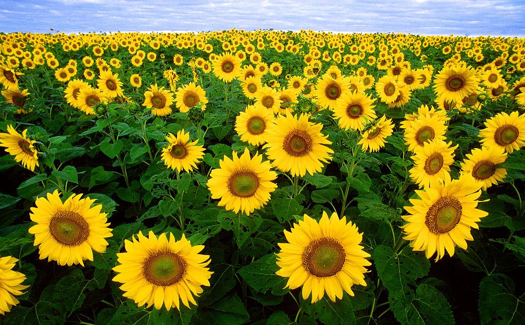 Hình ảnh cánh đồng hoa hướng dương cực đẹp
