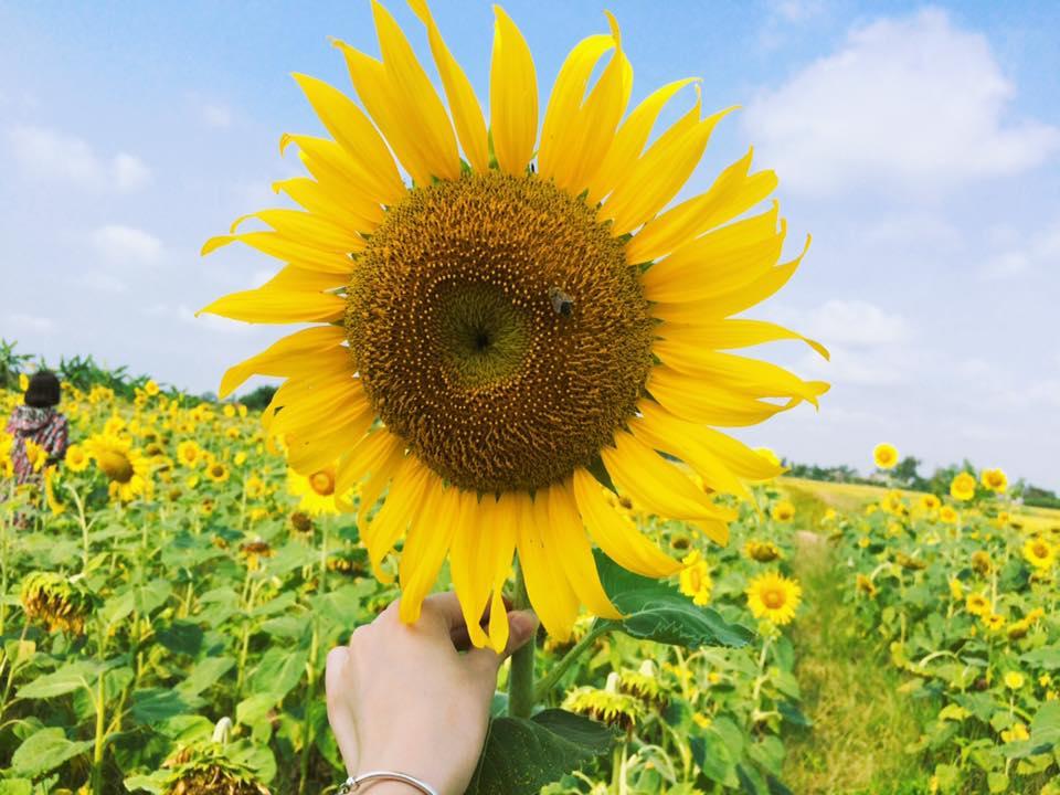 Hình ảnh cánh đồng hoa Hướng Dương nở rộ