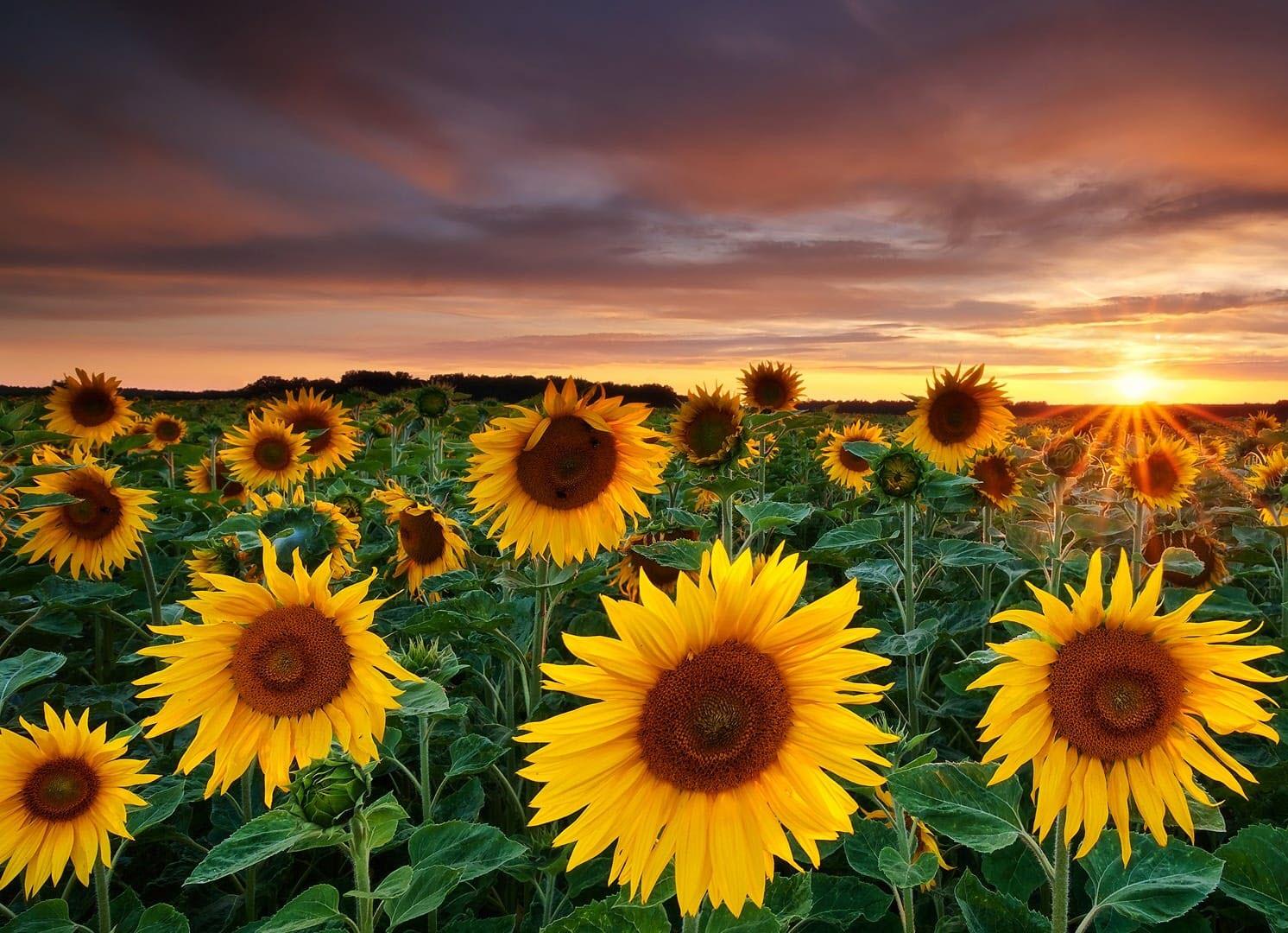 Hình ảnh cánh đồng hoa hướng dương