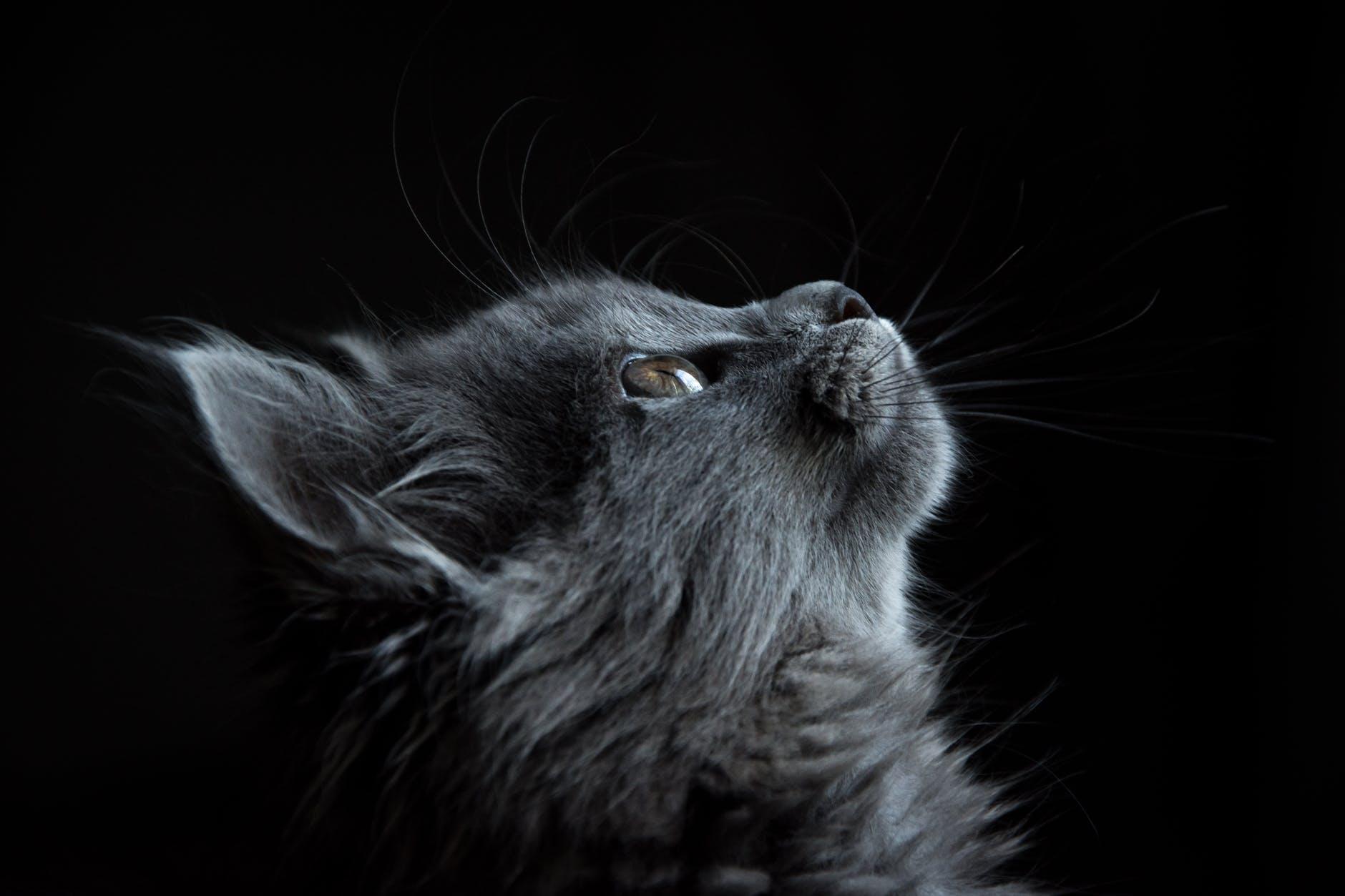 Hình ảnh chú mèo lông xám xinh đẹp