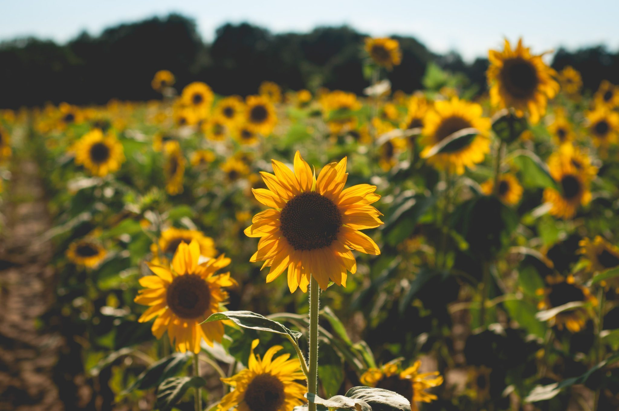 Hình ảnh đẹp về cánh đồng hoa hướng dương