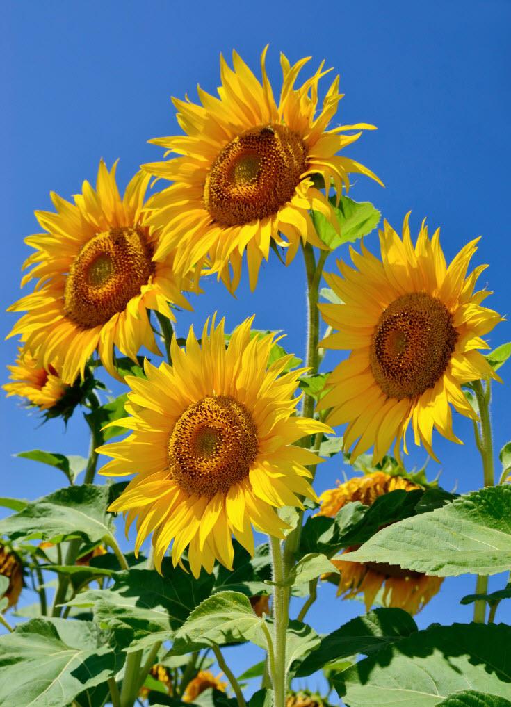 Hình ảnh hoa hướng dương đẹp nhất thế giới
