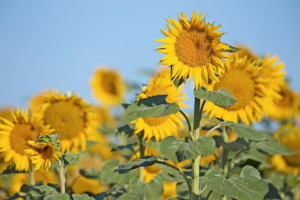 Hình ảnh hoa hướng dương