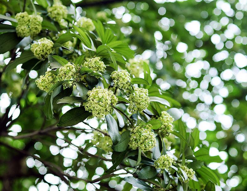 Hình ảnh hoa sữa Hà Nội