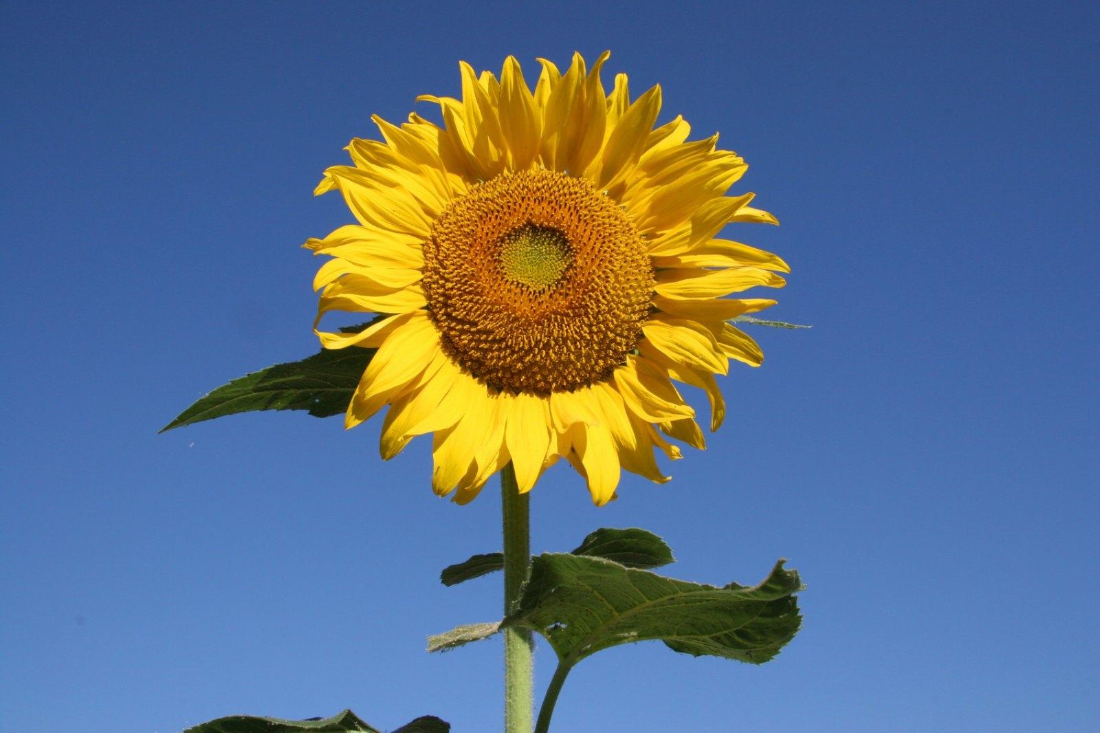 Hình ảnh một bông hoa hướng dương