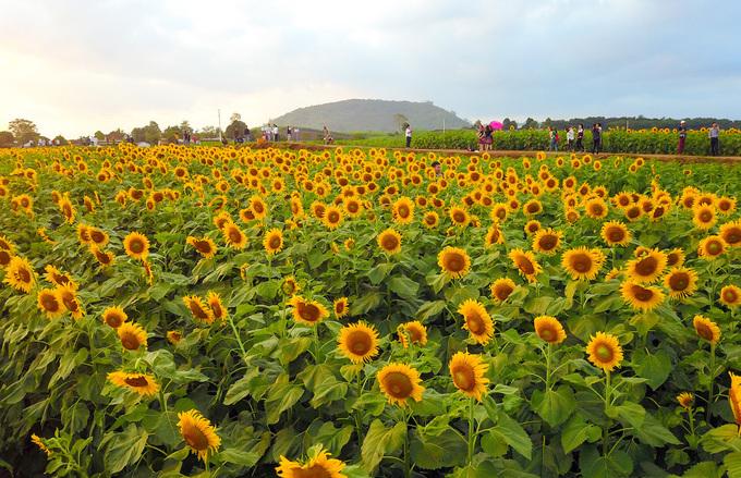 Hình ảnh về hoa hướng dương