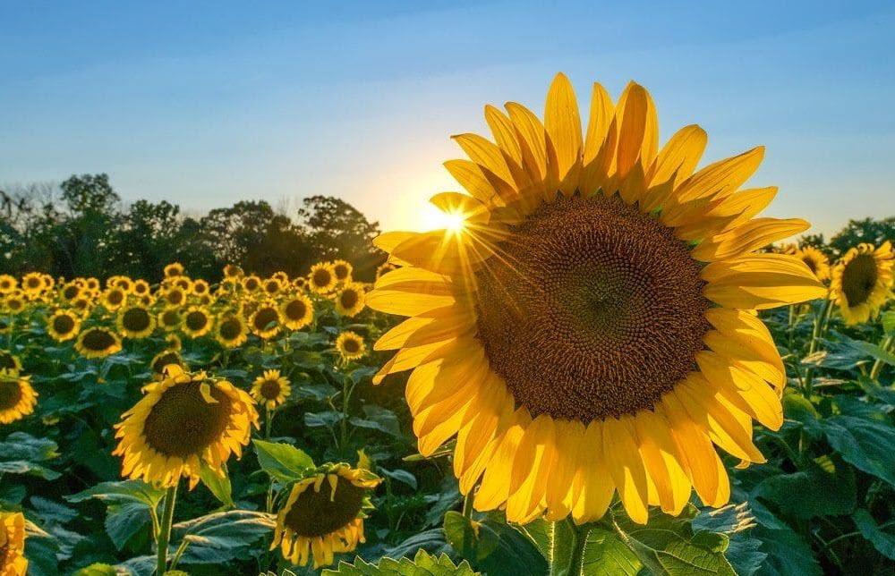 Hình ảnh vườn hoa hướng dương dưới ánh nắng mặt trời