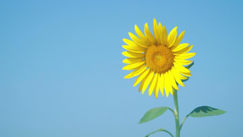 Hình bông hoa hướng dương đẹp nhất