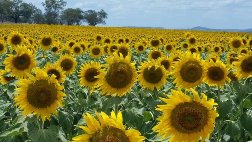 Hình cánh đồng hoa mặt trời đẹp