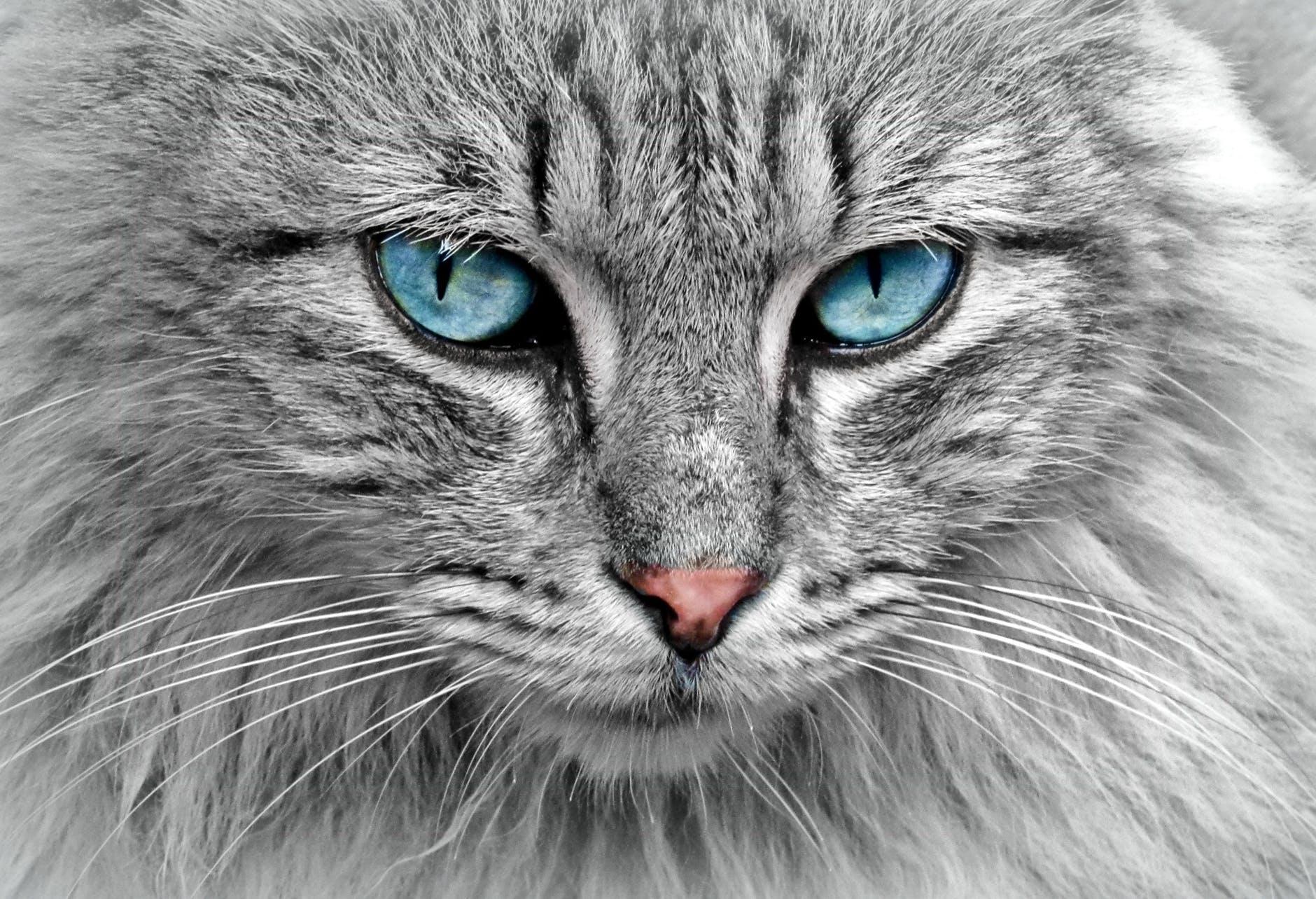 Hình nền đẹp động vật mèo Anh lông dài mắt xanh