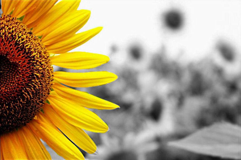 Hình nền hoa hướng dương đẹp