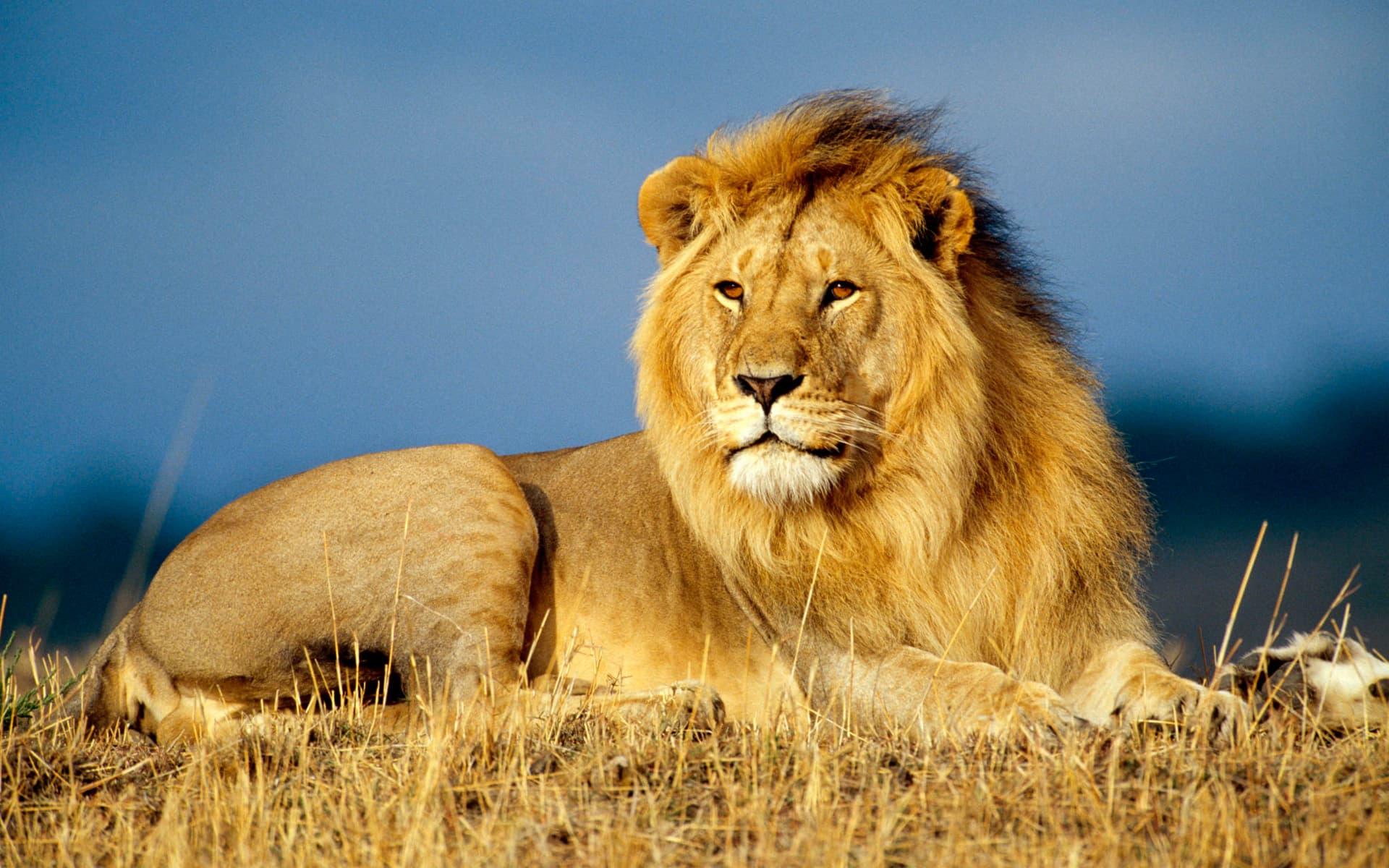 Hình nền vua của núi rừng sư tử