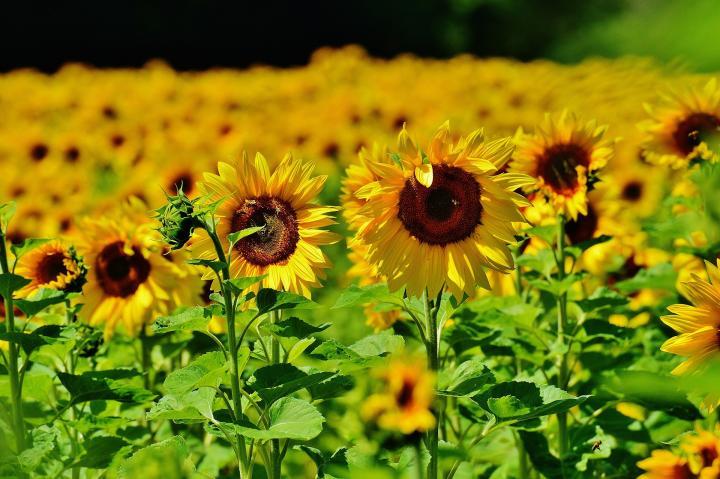 Hình những bông hoa mặt trời đẹp