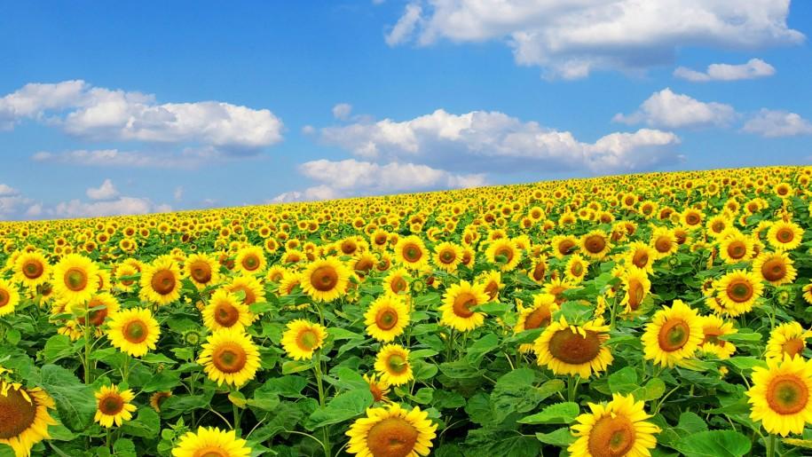 Hình vườn hoa hướng dương đẹp