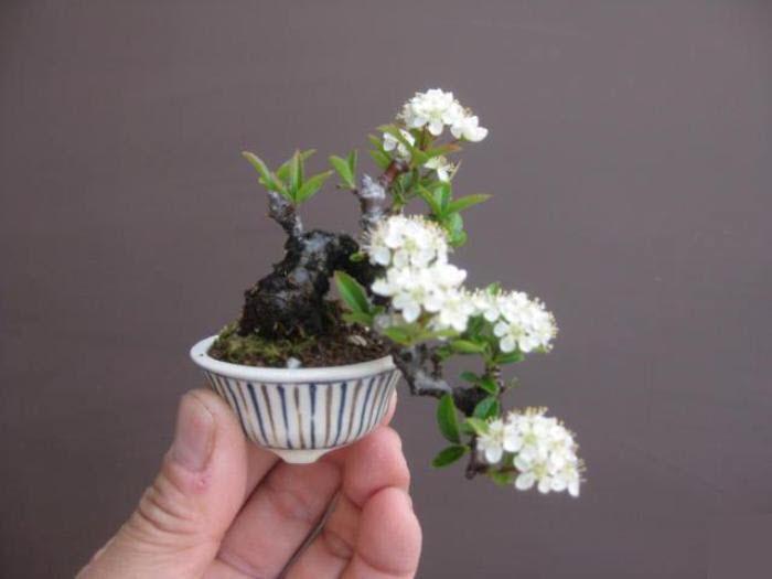 Hoa bonsai mini đẹp