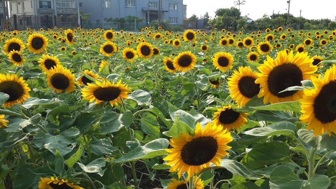 Những bông hoa mặt trời