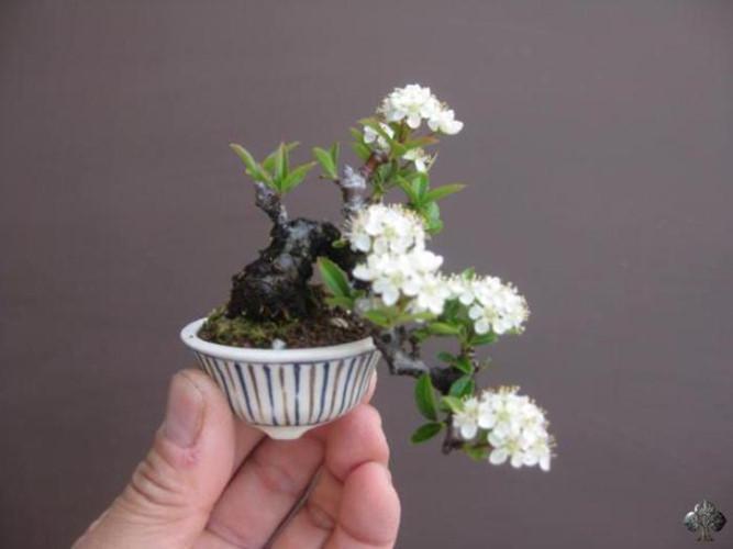 Những chậu bonsai mini đẹp