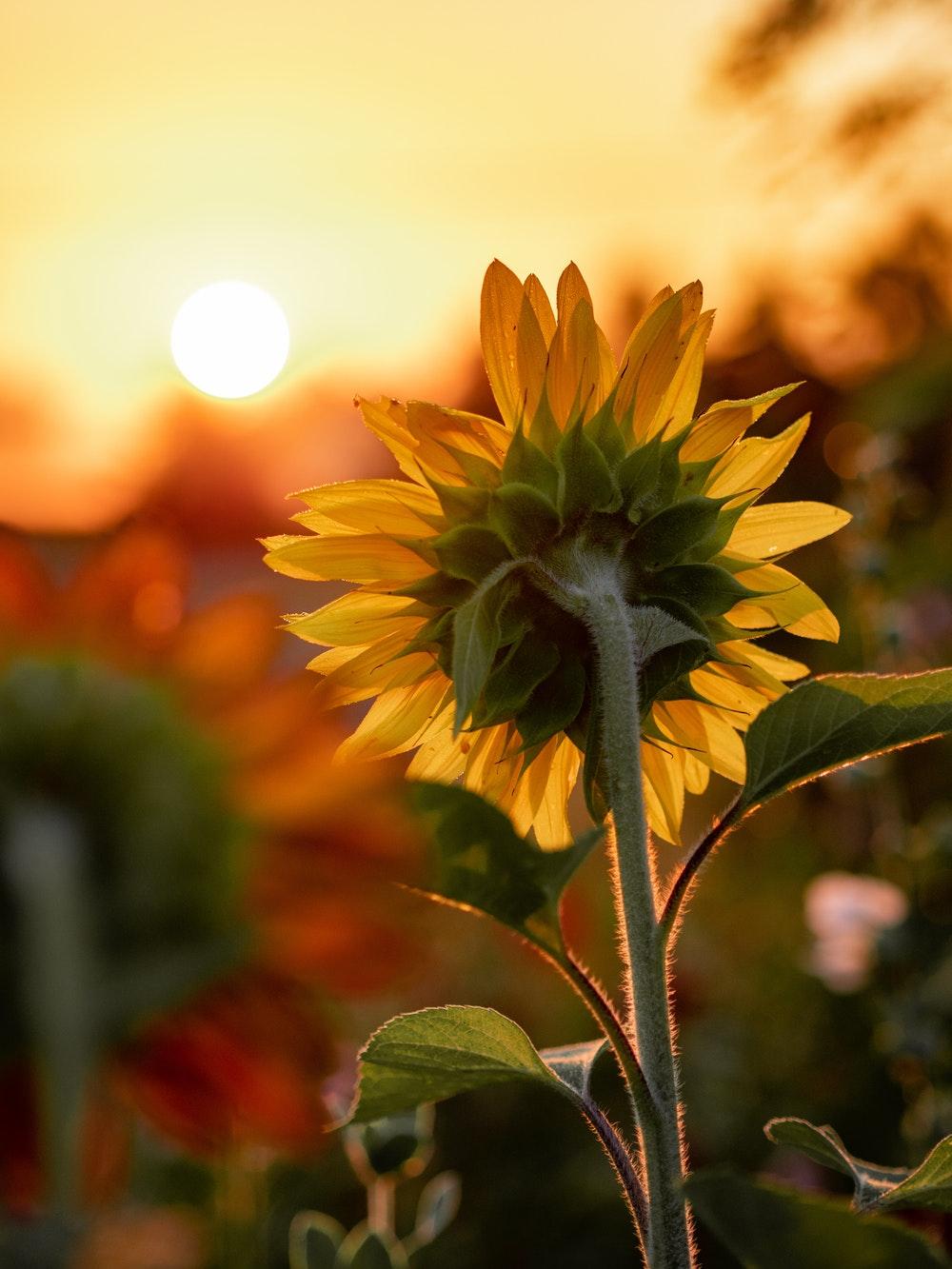 Những hình ảnh đẹp về hoa hướng dương