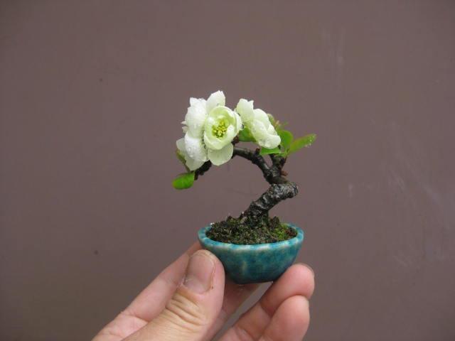 Tiểu cảnh bonsai mini