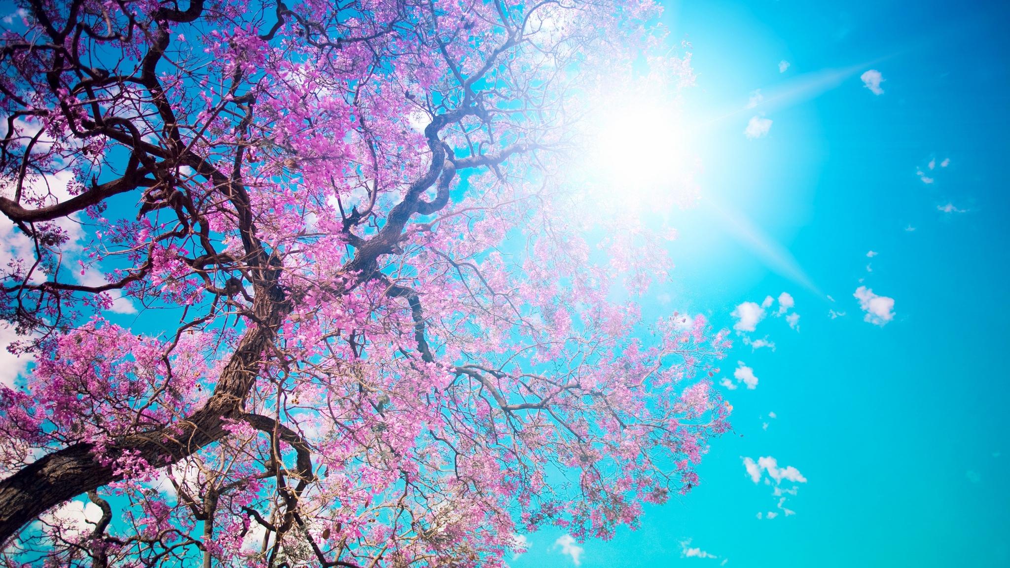 Hình nền desktop cây anh đào dưới ánh nắng hè
