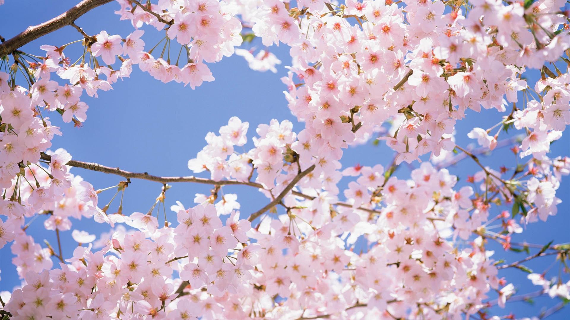 Hình nền hoa anh đào khoe sắc