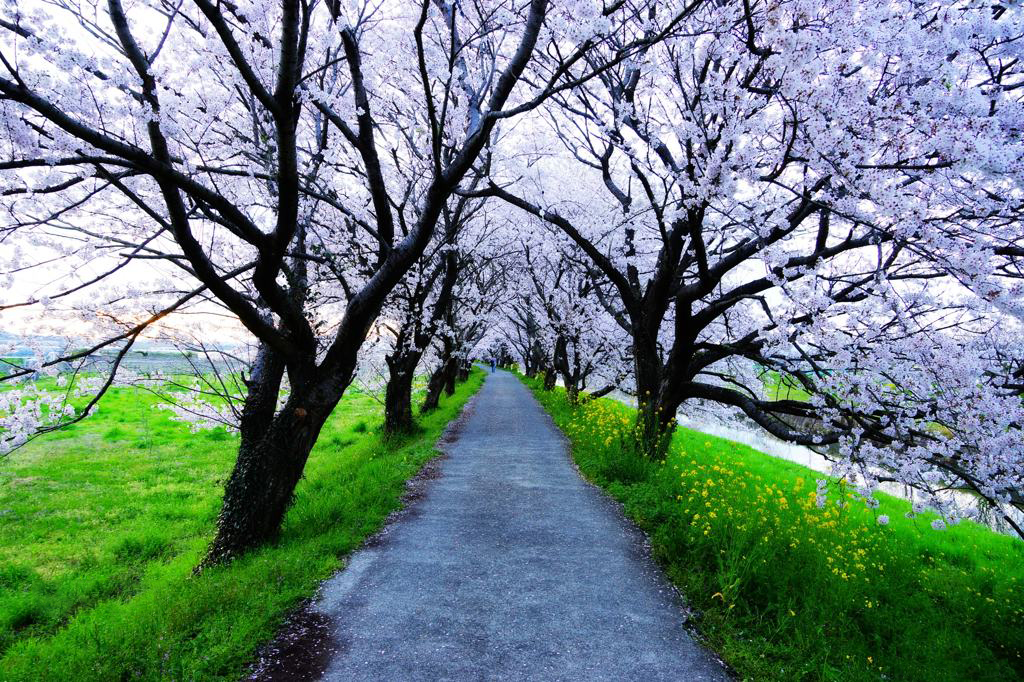 Ảnh đẹp con đường hoa nở