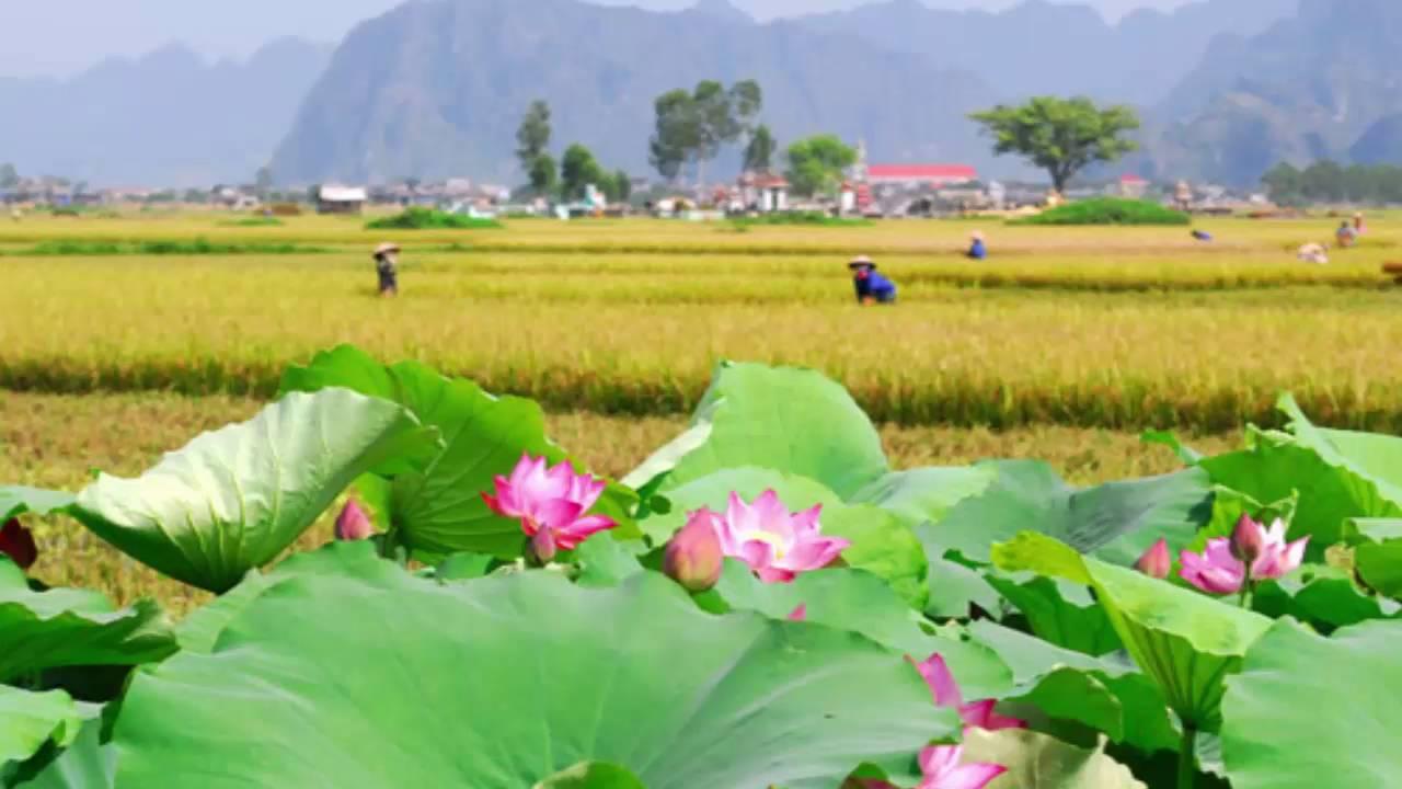 Hình ảnh quê hương ao sen bên ruộng lúa