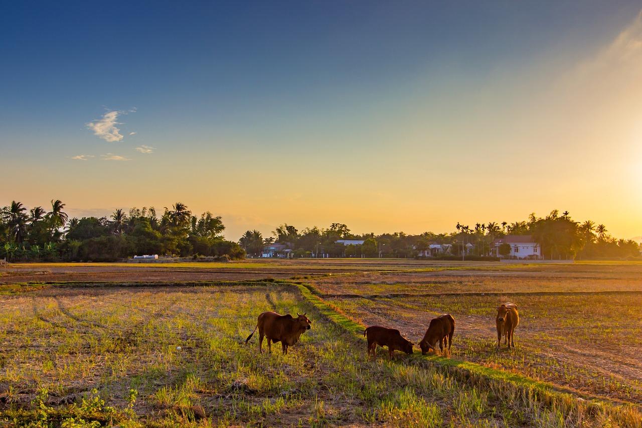 Hình ảnh quê hương cánh đồng sau mùa gặt