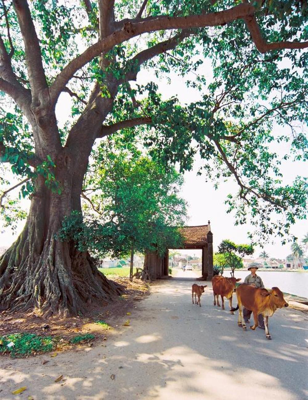 Hình ảnh quê hương cây đa đầu làng