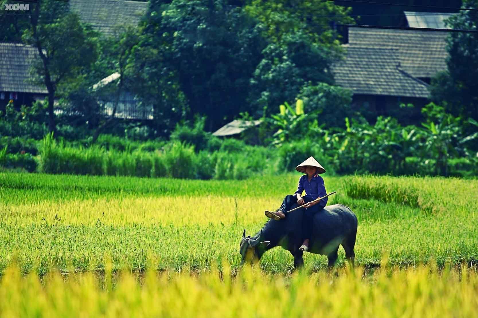 Hình ảnh quê hương và trẻ chăn trâu